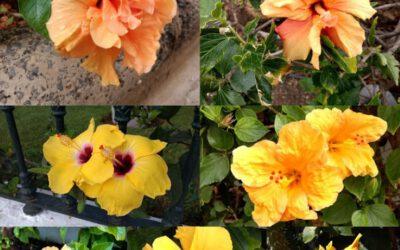 Kiinanruusujen väreissä on valinnanvaraa!