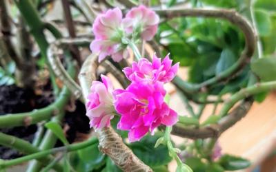 Huonekasvien keväthuollon aika